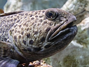 Gefleckter Katfisch