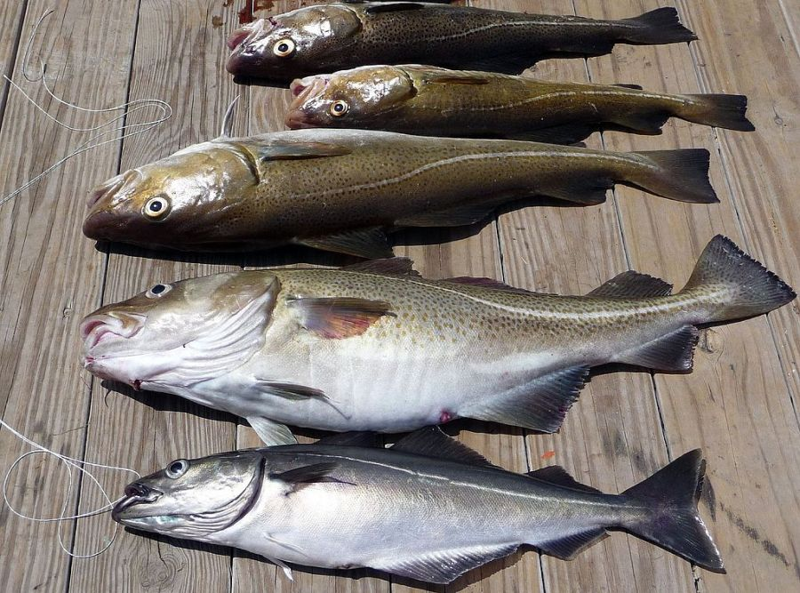 Frye's fish